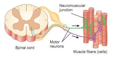 motor-unit-somatic-motor-neuron